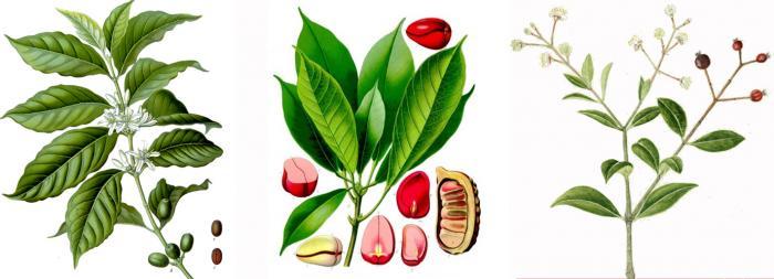 Coffea arabica, image by Köhler 1883-1914; Cola acuminata, image by Köhler 1897; Myrcia amazonica, image by  Stahl 1883-1888