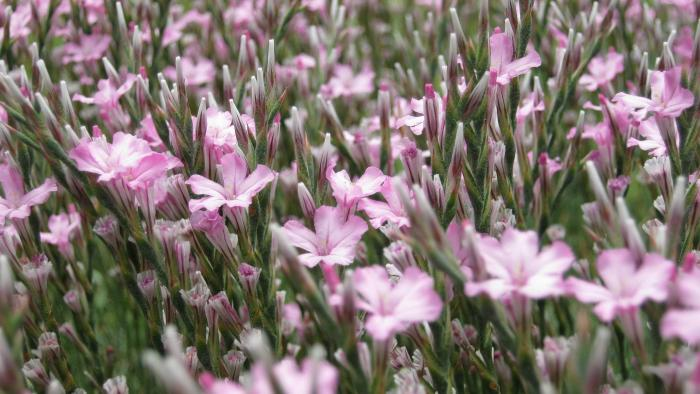 Image showing Acantholimon armenum, a regional endemic also known as 'prickly thrift'