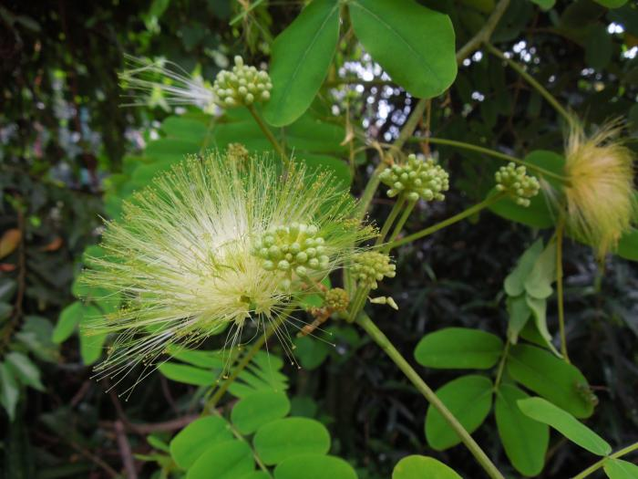 Image showing Albizia lebbeck, a non-native mimosoid legume that was flowering in the dry deciduous forest of Ankarafantsika N.P.