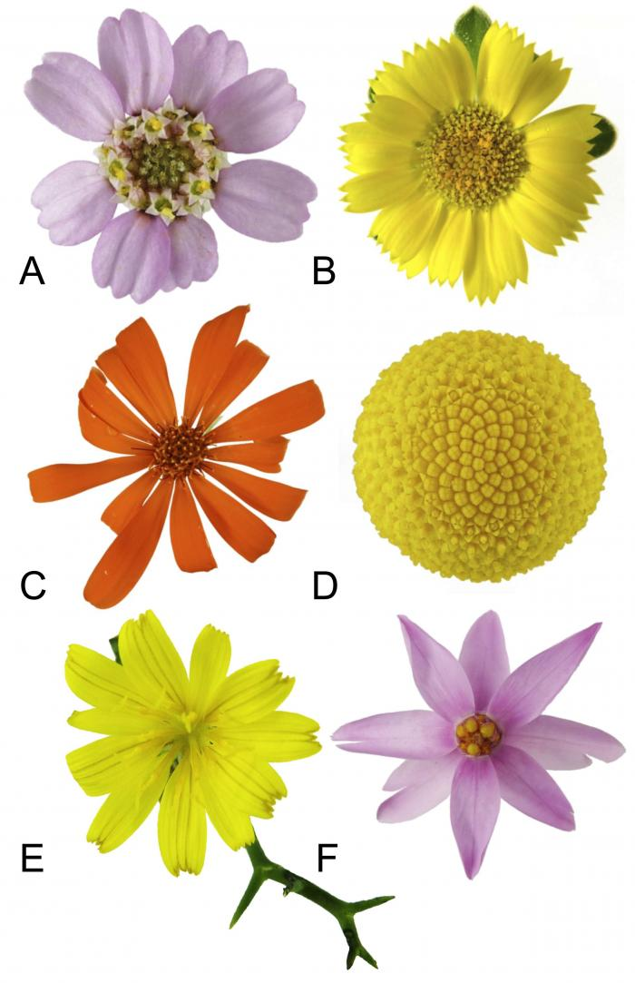 Figure 3: A small fraction of the huge diversity of flower heads within the daisy family.