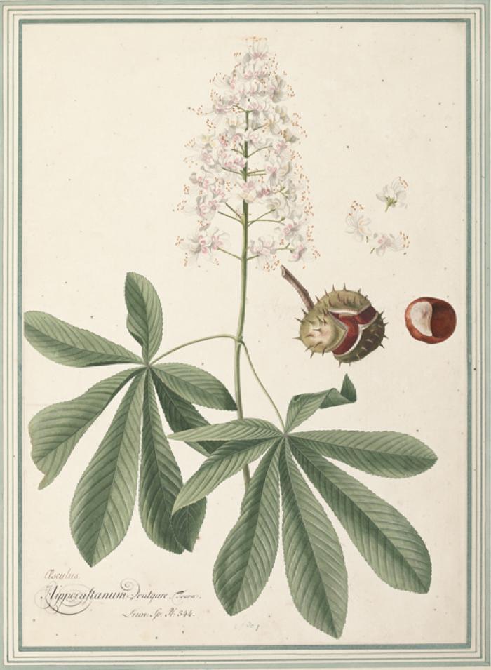 Photo of Aesculus hippocastanum by Georg Dionysius Ehret