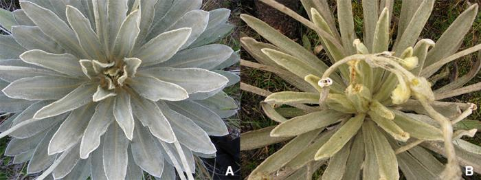 Comparison of rosette colours: A.) E. dugandii, B.) E. praesidentis.