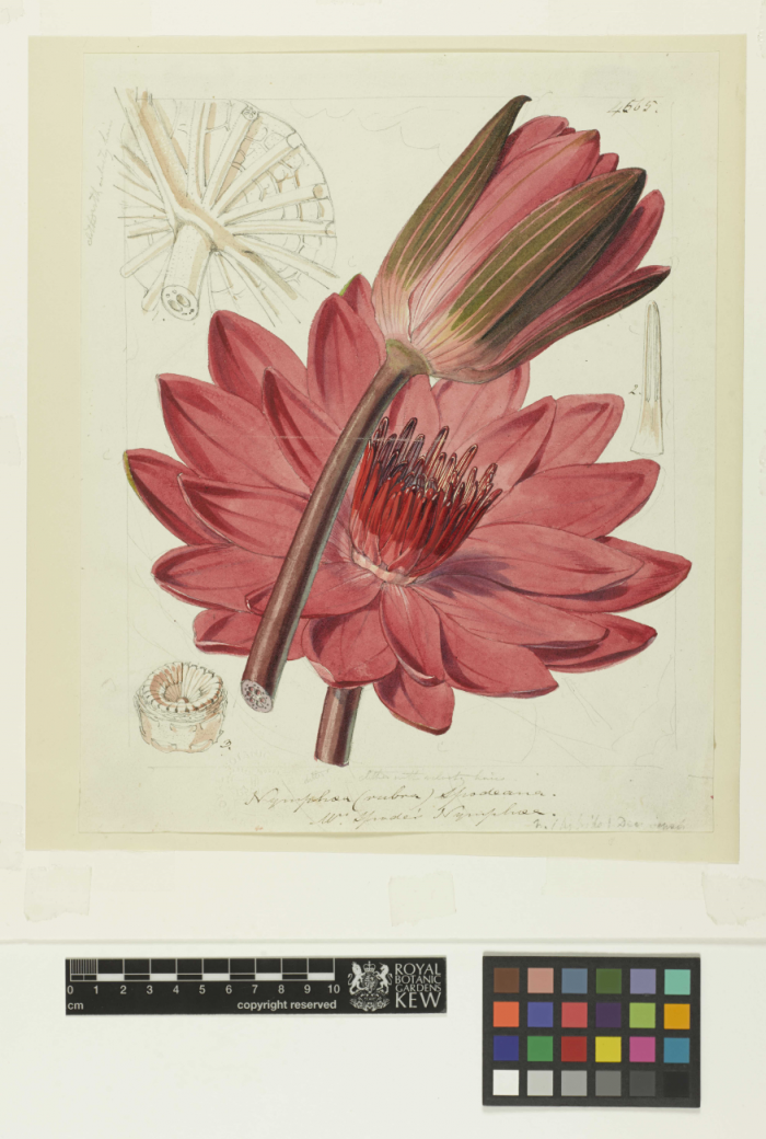 Photo of an illustration by Fitch of Nymphaea devoniensis.