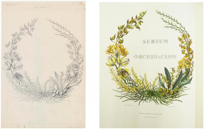 Frontispiece from Sertum Orchidaceum showing the original sketch by Miss Drake and the final printed plate.
