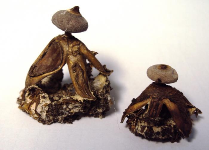Specimen of Geastrum brittanicum