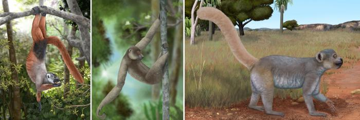 Many of Madagascar's extinct giant lemurs were important seed dispersers capable of swallowing very large seeds