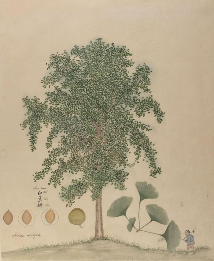 Photo of Ginkgo biloba by an unknown artist