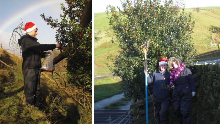 Bede West collecting Ilex aquifolium (Image: F. Stanley); Rachael Davies (germination specialist) and Frances Stanley (seed processing assistant) post collection (Image: B. West)