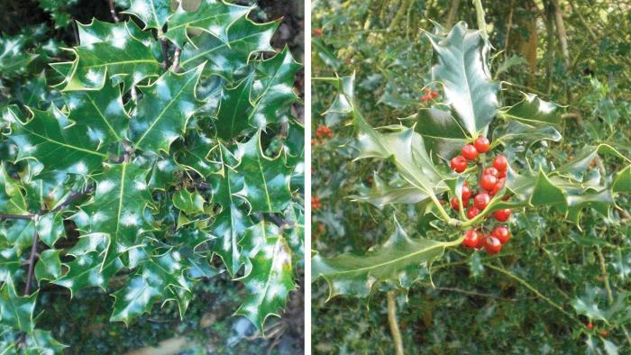 (L>R) Male Ilex aquifolium branch; female Ilex aquifolium branch (Image: B. West)