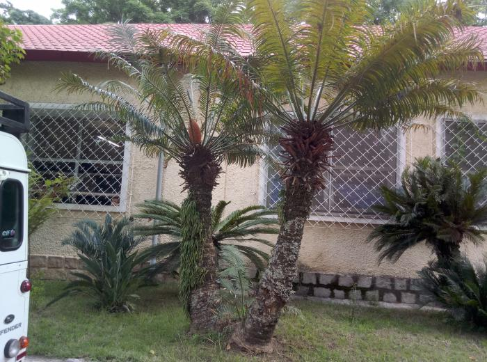 Imagw showing Cycas thouarsii, the only endemic cycad of Madagascar, in front of the National (TAN) herbarium in Parc Tsimbazaza.