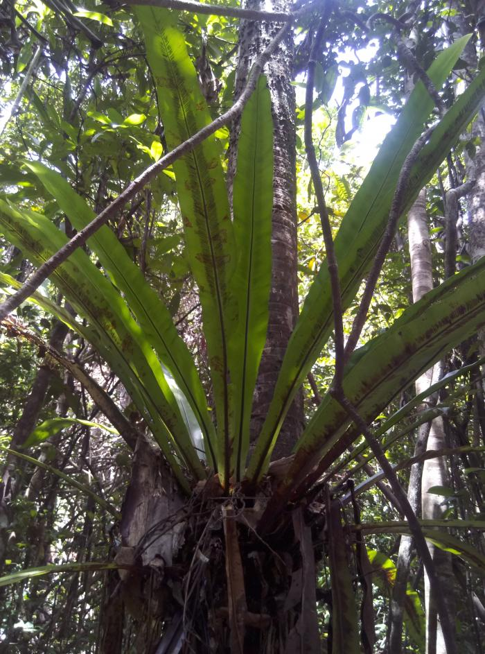 Image showing Bird's nest fern, Asplenium nidus. A pantropical epiphytic fern found in Analalava forest reserve