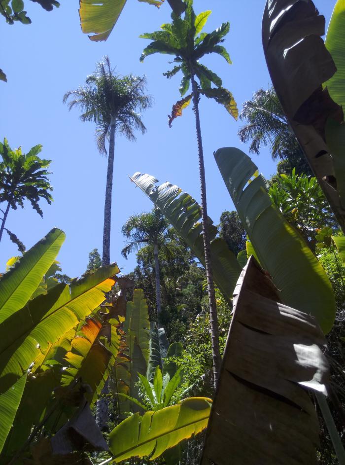 Image showing gigantic Dypsis carlsmithii in Palm Hotspot Analalava