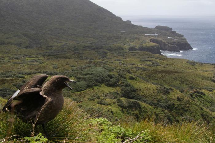 Transvaal Plain, Gough Island (Image: Phil Lambdon)