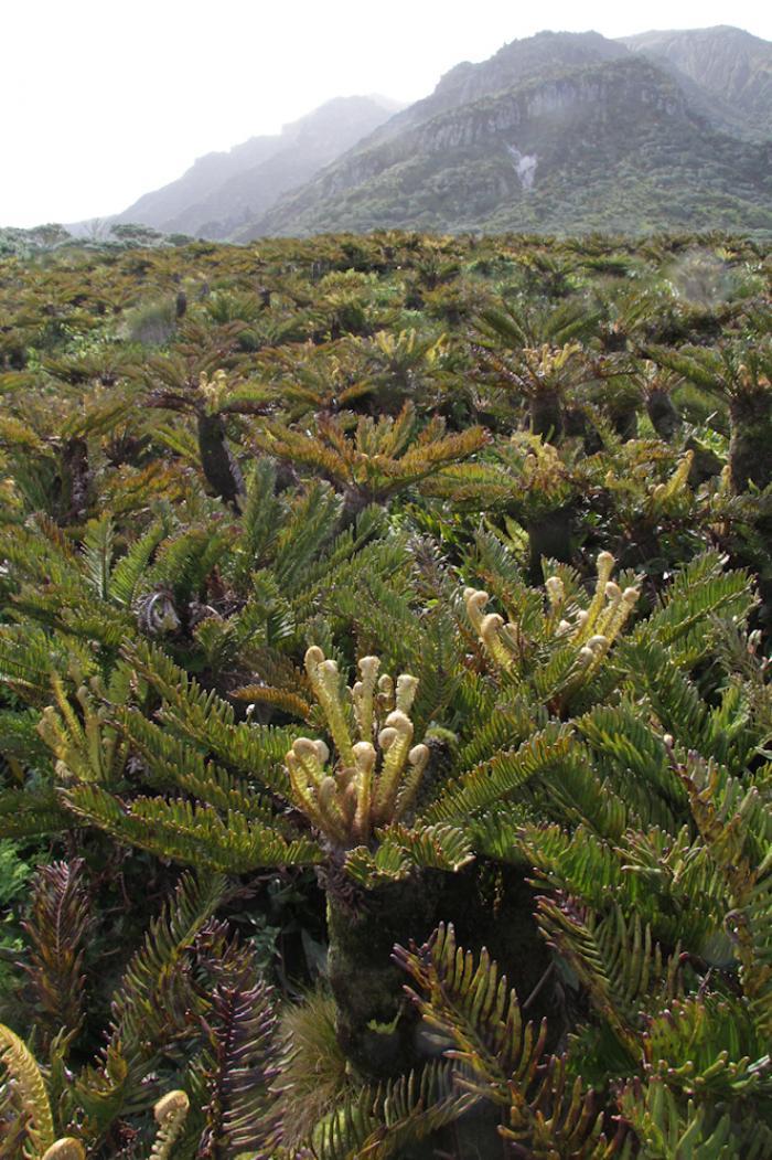 Blechnum palmiforme scrub, Gough Island (Image: Phil Lambdon)