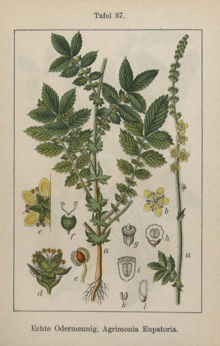 Illus scan - Echte Odermennig, Agrimonia Eupatoria