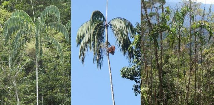 Three pictures of palms showing their pale trunks, large leaves. One of the palms has fruit.