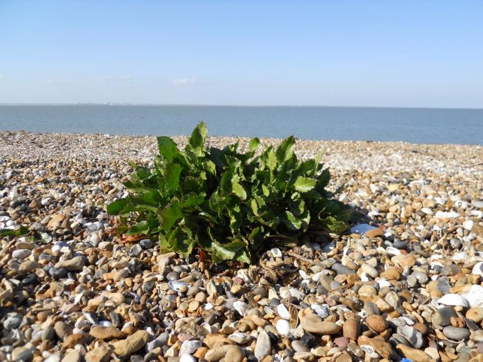Image showing sea beet (Beta vulgaris subspecies maritima) growing on a shingle beach.