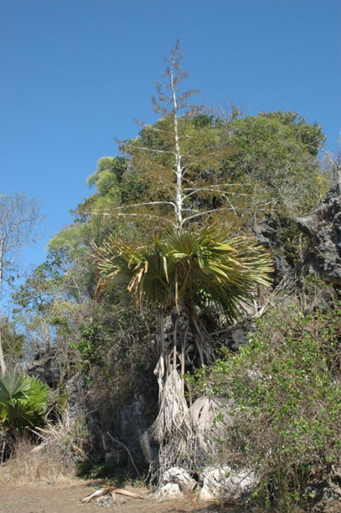 Picture of palm tree with a flowering spike reaching into the sky