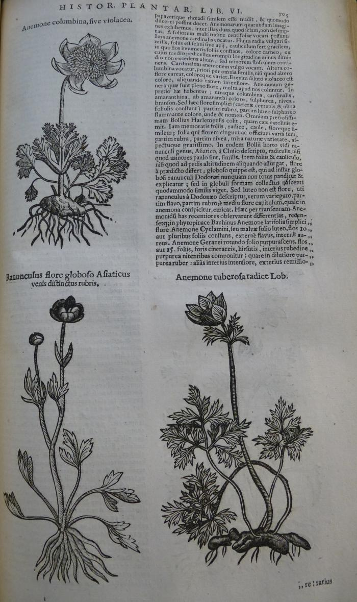 Photo of some more woodcuts of plants from the 1644 edition above.