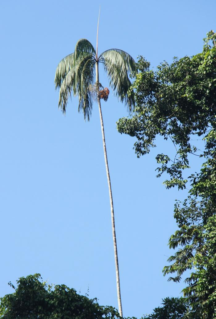 Picture of a palm tree with clustered leaves and fruits at the top of a slender white trunk