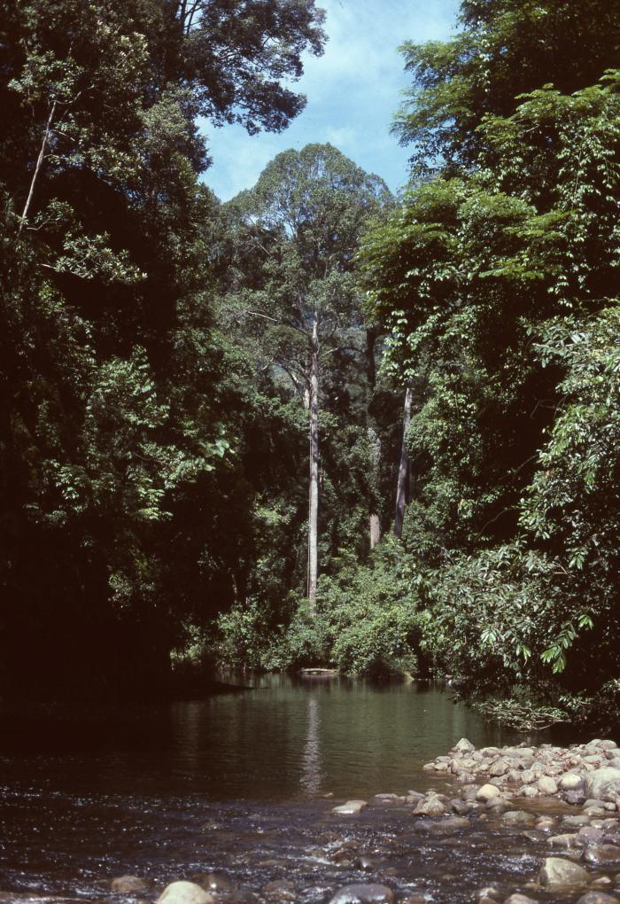 Image showing Imbak River, lowland dipterocarp forest, Sabah