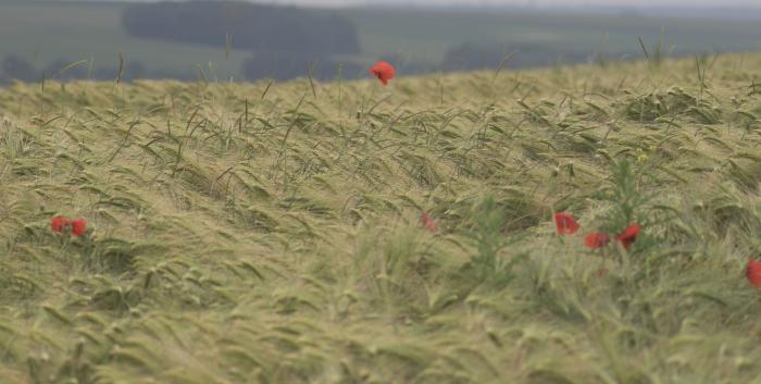 Image showing a lone poppy emerges from a field of barley near Thiepval
