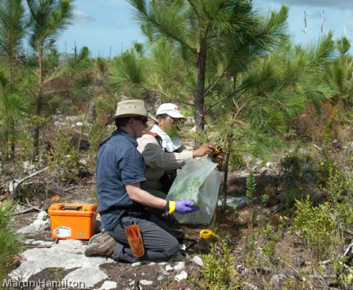 Photo of Paul Green collecting volatile compounds of Caicos pine