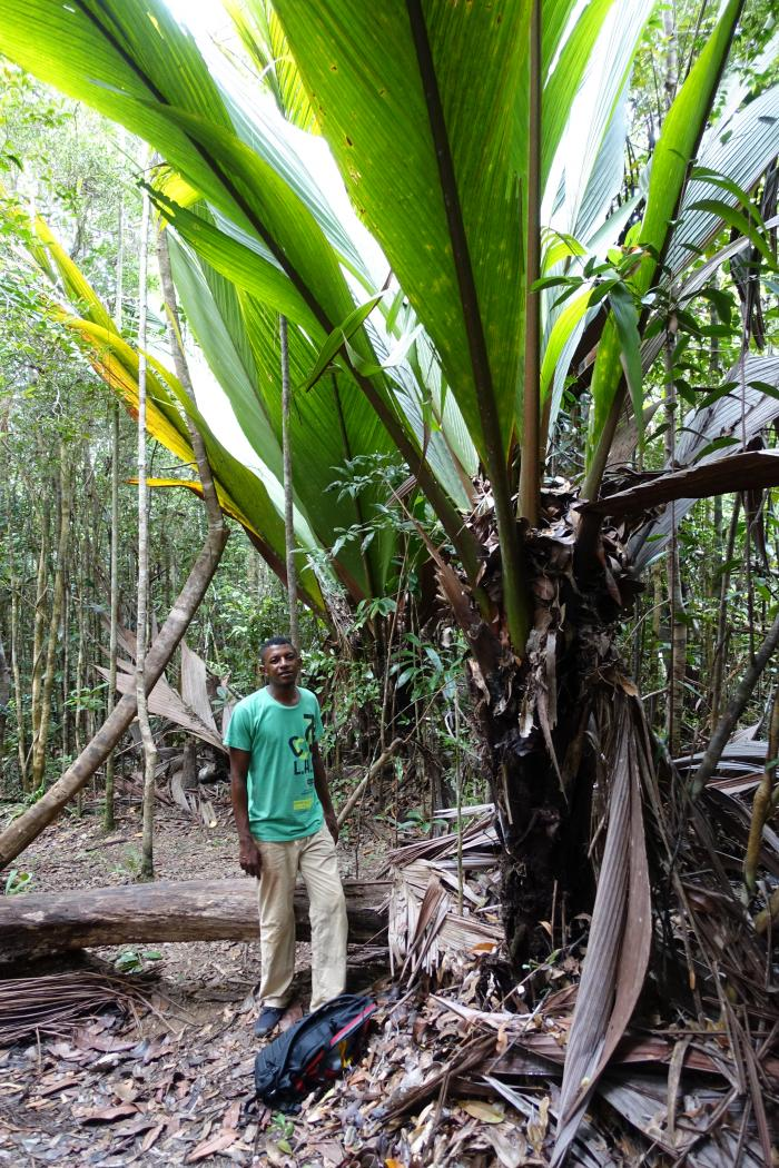Image showing Marojejya darianii with one of the local guides for scale. The local guides were invaluable in our trip, showing us the perfect spots to see the palms