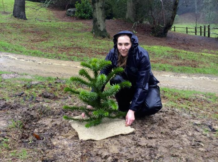 Photo of Jo Wenham planting monkey puzzle in Coates Wood