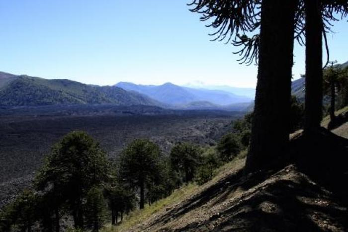 Photo of monkey puzzle trees in valley