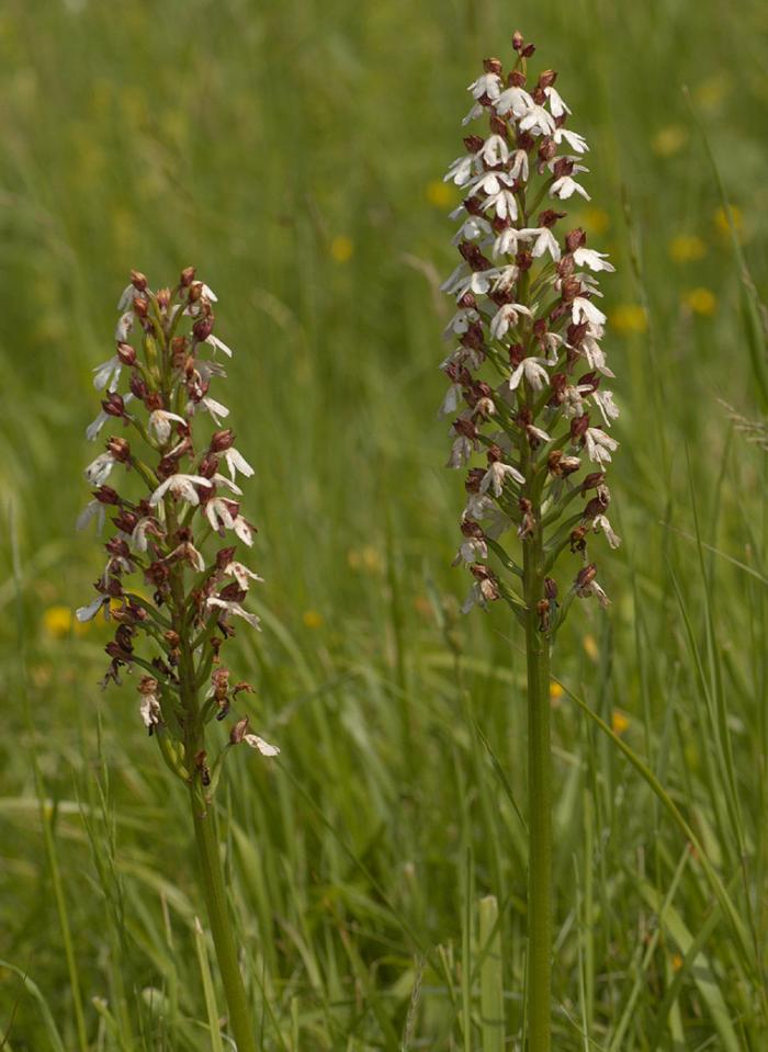 Image showing a chalkland scarcity recorded on the Somme: Orchis purpurea (credit: Malcolm Storey, bioimages.org.uk).