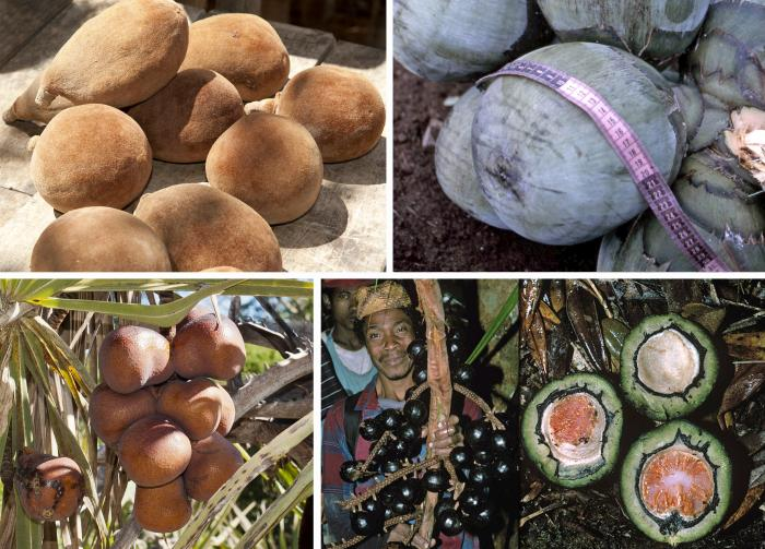 Image showing orphans of extinction: L>R: fruits of baobab (Adansonia grandididieri, Malvaceae); Borassus madagascariensis; Hyphaene coriacea; Satranala decussilvae (all three Arecaceae)