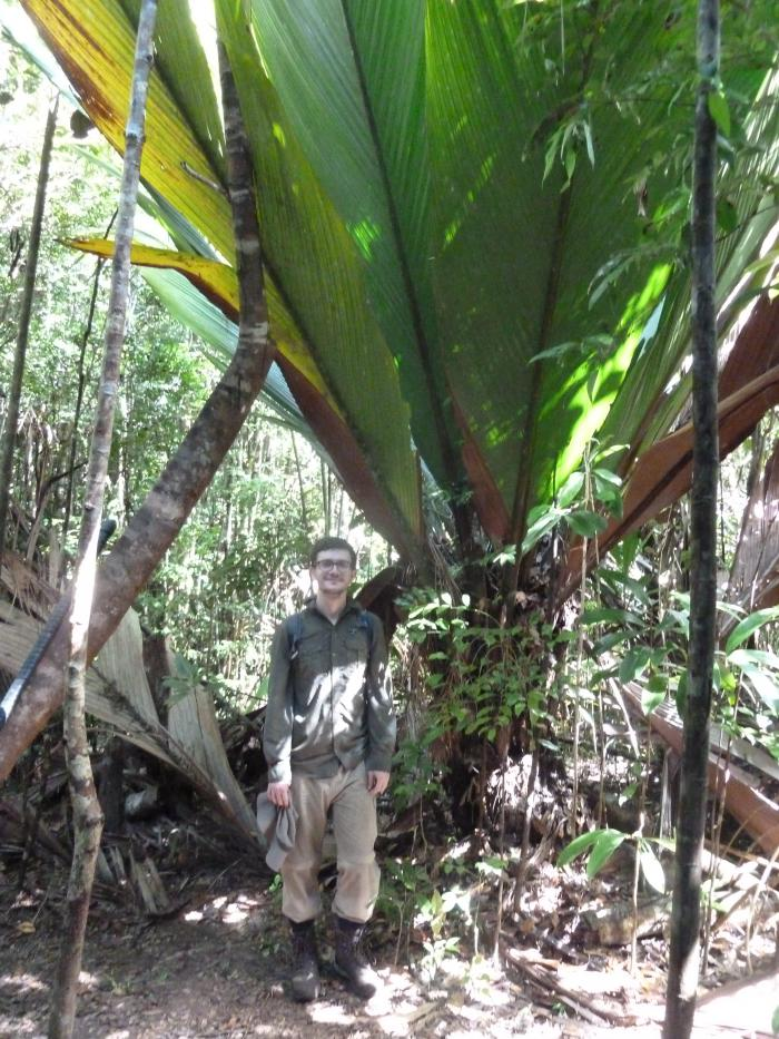 Image showing the majestic Marojejya darianii in Analalava with student Matthey Jeffery for scale
