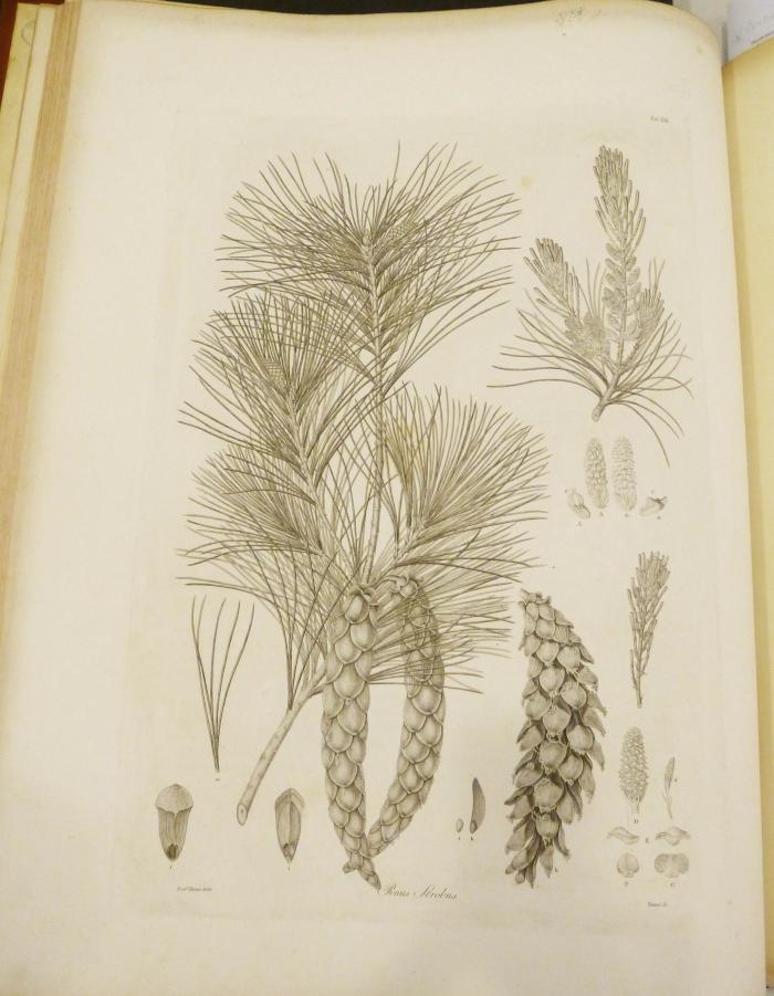 Photo of 'Pinus strobus' by Ferdinand Bauer