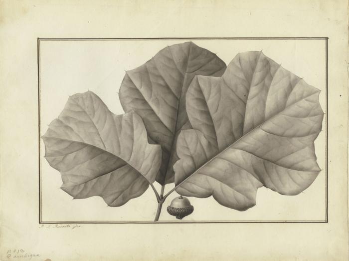 Photo of Quercus ambigua by Pierre Joseph Redouté