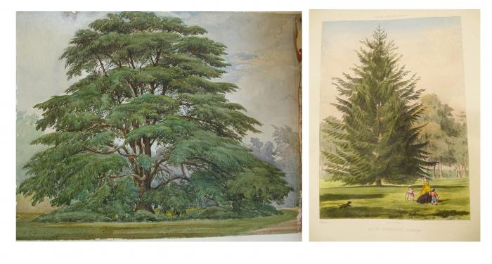 Photo of 'Cedrus libani' by W. Richardson and lithographed plate of 'Abies douglasii'.