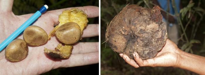 Image showing seeds and fruits too large for any extant disperser. Left: Salacia sp. (Celastraceae), right: Symphonia sp. (Clusiaceae)
