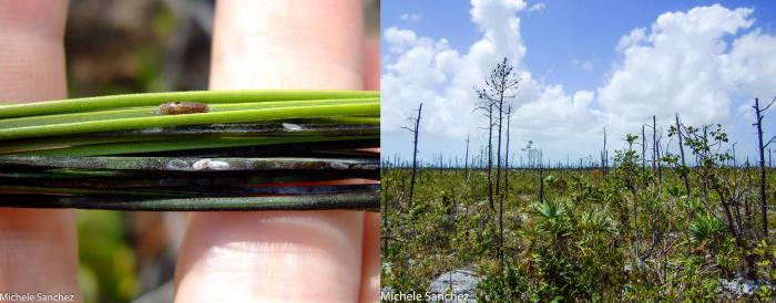 Photo of pine tortoise scale insects and the damage they have caused to Caicos pines