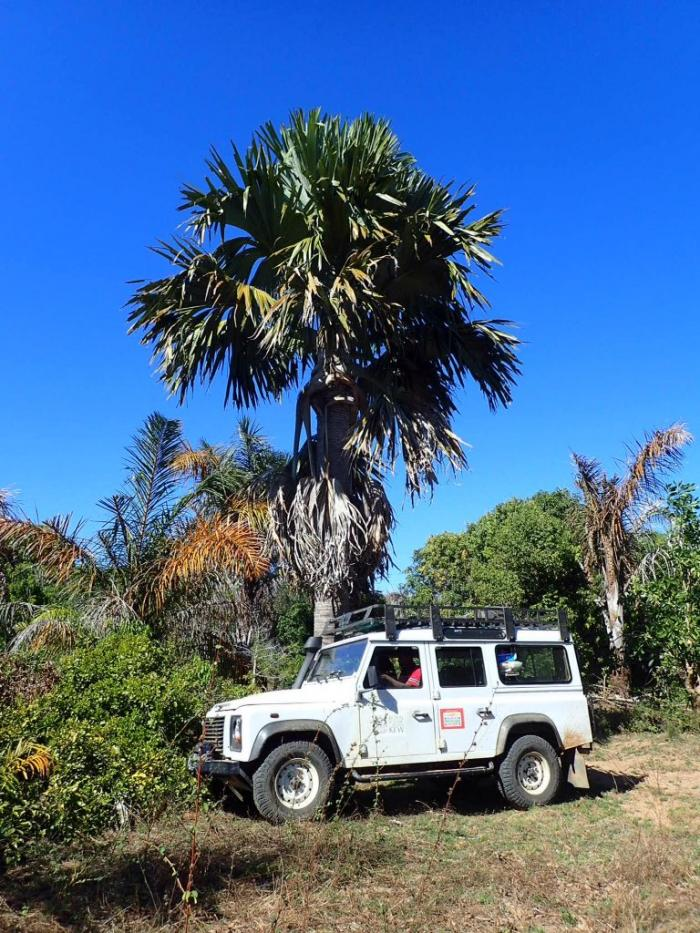 Image showing a single large trunked Tahina spectabilis grows on the edge of a village near to the main population, here with the Kew Madagascar Land Rover Defender in front for scale