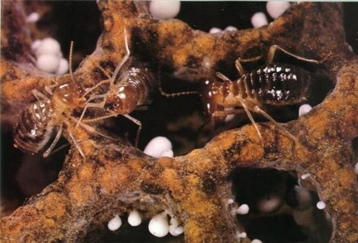 Image showing termites on their fungus garden: the termites mostly eat the white bulbs called conidia