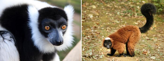 Image showing black-and-white ruffed lemur (Varecia variegata); and red ruffed lemur (Varecia rubra)