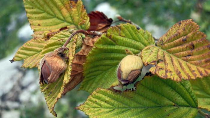 Image showing Vulnerable and endemic, Corylus colchica is an economically important species in Georgia
