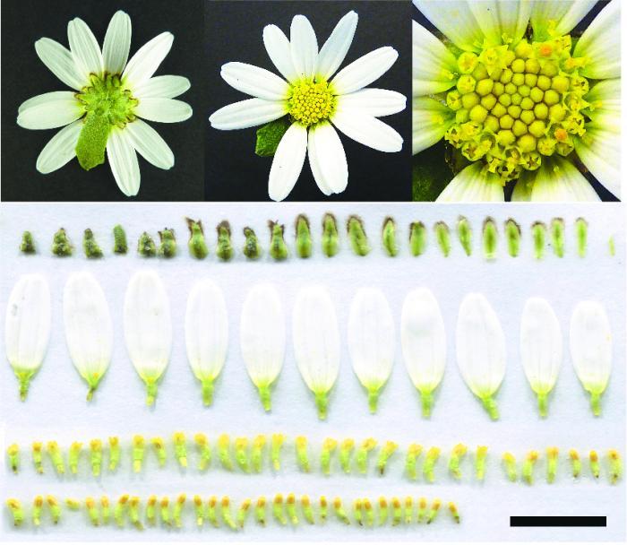 Figure 2: Flower head of an oxeye daisy, Leucanthemum vulgare.
