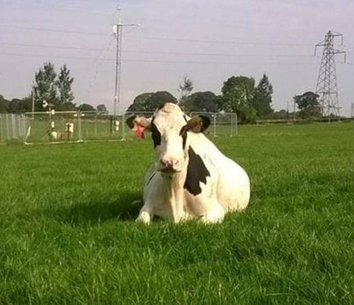 Image showing a dairy cow in a field of perennial ryegrass (Lolium perenne) which is highly nutritious