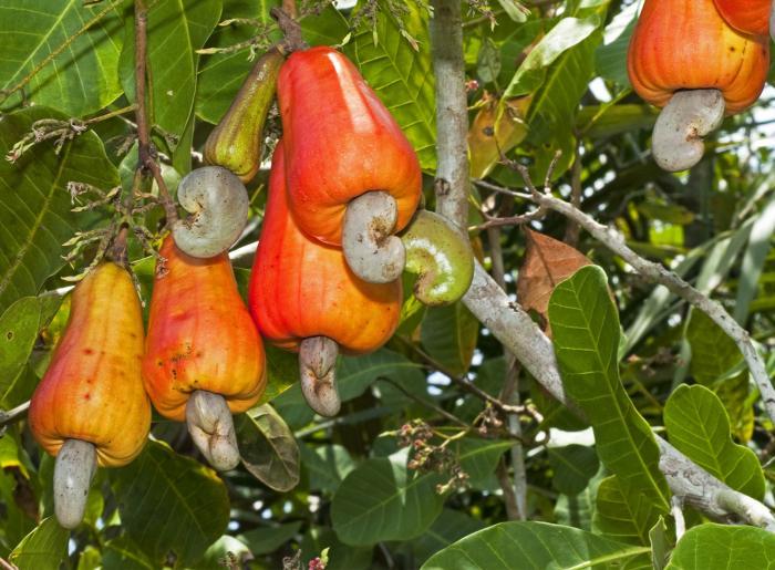 Cashew Fruit Tree