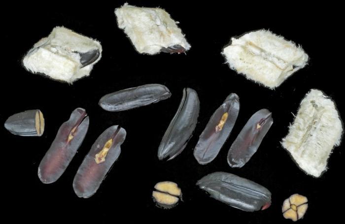 Seeds of Inga edulis