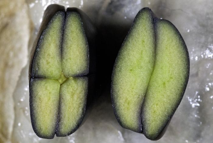 Embryo cross section of ice cream bean seeds