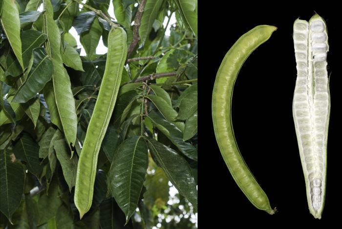 Fruit of Inga rhynchocalyx