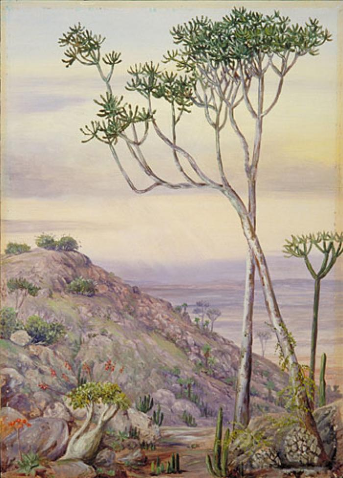 Vegetation on the Hills near Grahamstown, South Africa: painting by Marianne North
