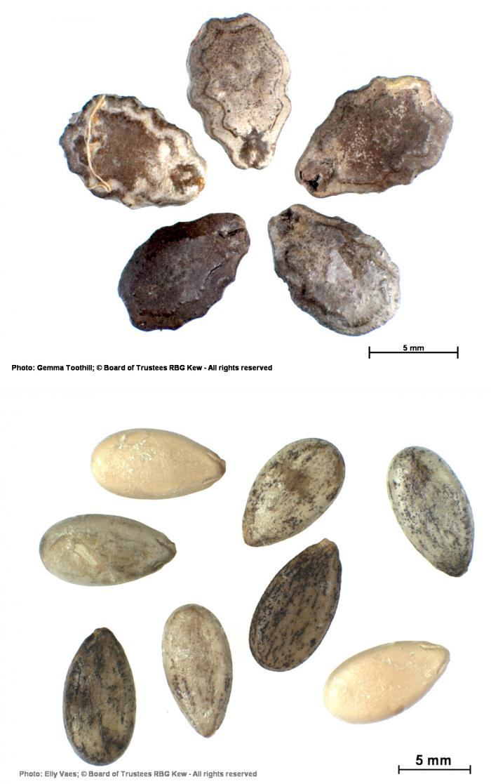 The seeds of Trichosanthes cucumerina and Citrullus lanatus